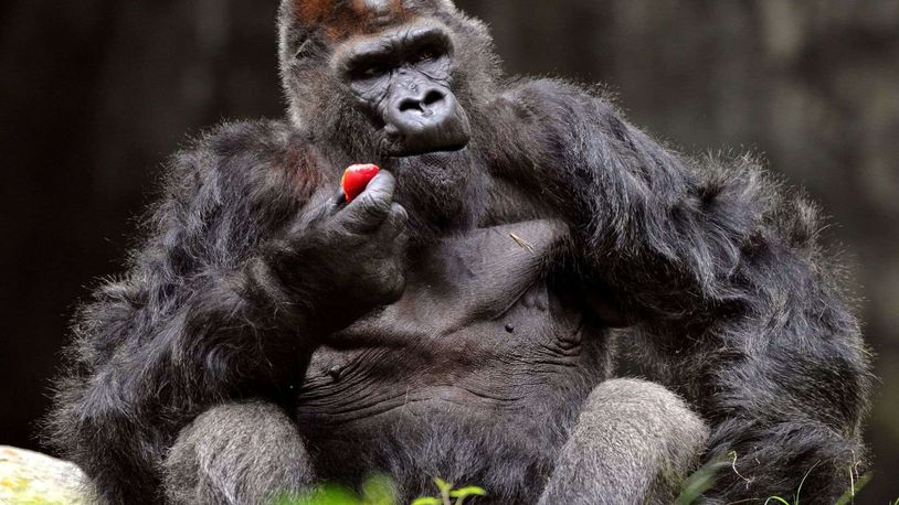 Zoo Atlanta cares for the largest population of western lowland gorillas in the U.S. More than a dozen gorillas at Zoo Atlanta have been diagnosed with COVID-19, a virus that can infect both animals and humans. File photo