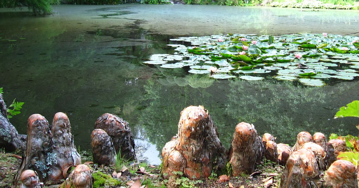 Bald cypress knees can sometimes be a problem