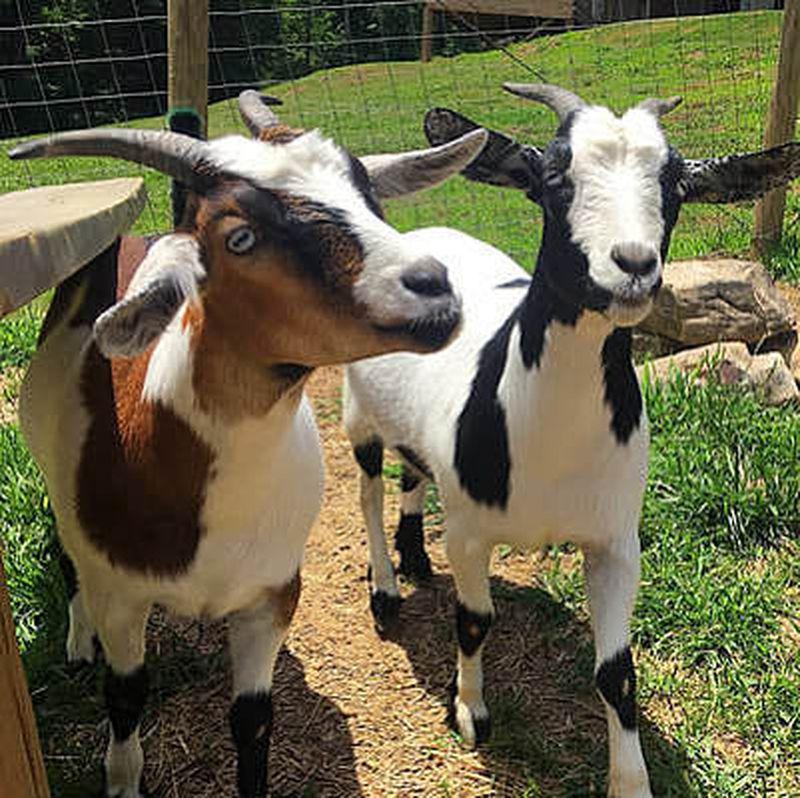 The namesake Fainting Goats at Fainting Goat Winery in Jasper