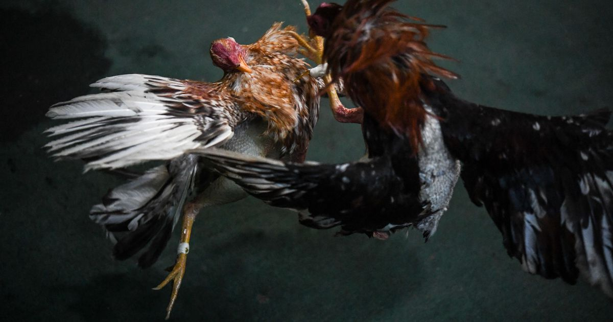 U.S. animal breeders supply illegal cockfighting trade in Guam